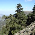 Abies Pinsapo in the sierra de grazalema