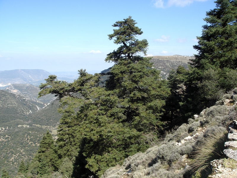Abies Pinsapo in the sierra de grazalema