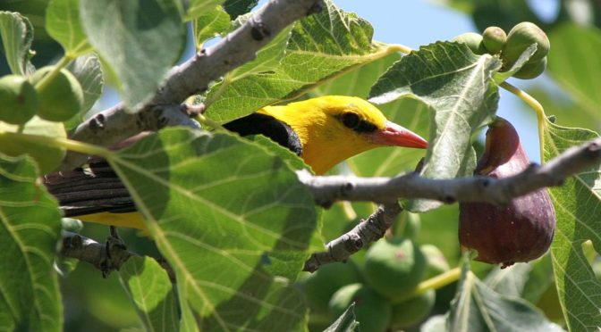 Eurasian golden oriole in the Sierra de Grazalema