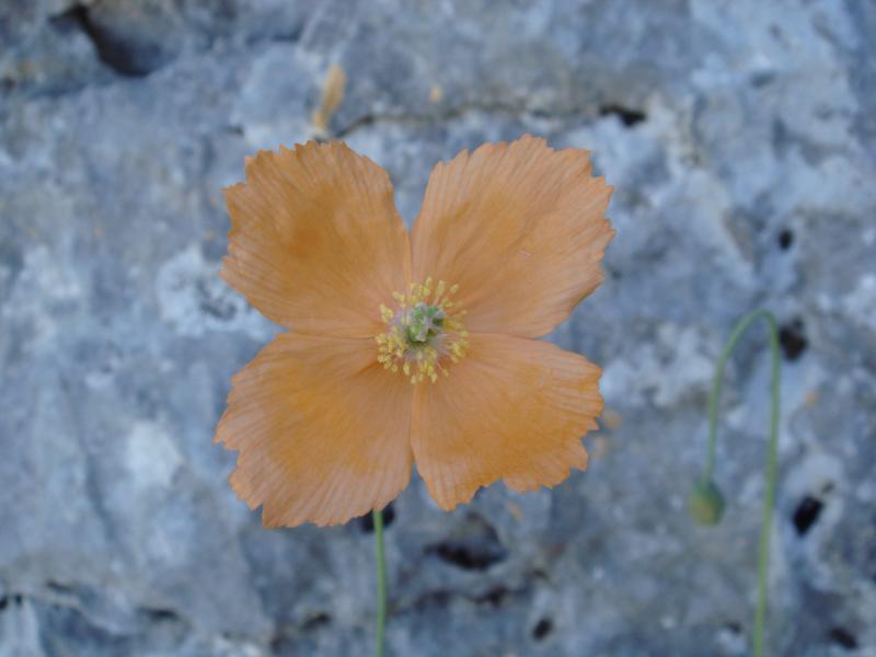 Grazalema Poppy (Papaver rupifragum) Amapola de Grazalema