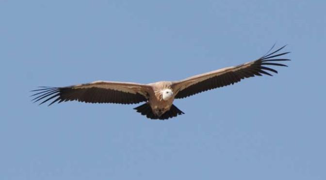 Griffon Vulture - Garganta Verde in the Sierra de Grazalema