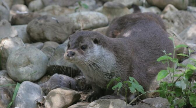 Otter in the Sierra de Grazalema