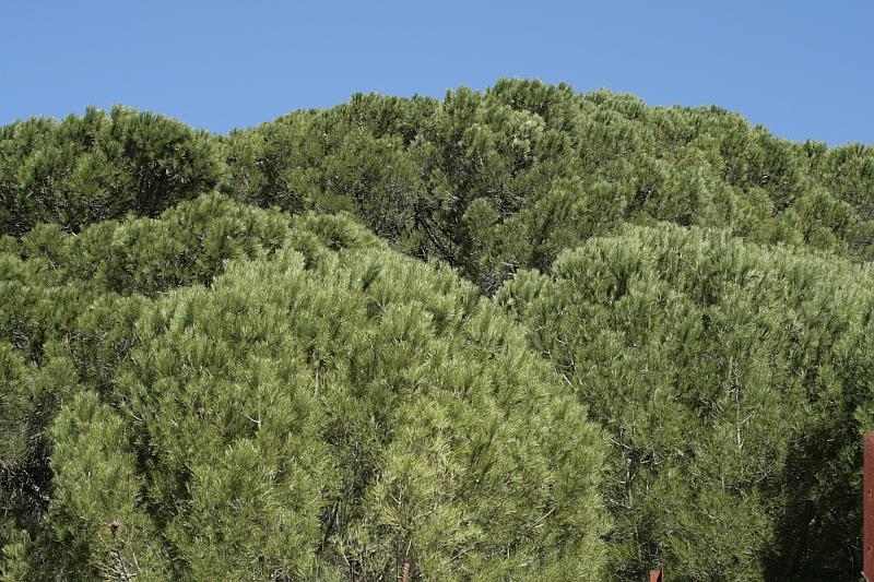 Pine trees in the Sierra de Grazalema Spain