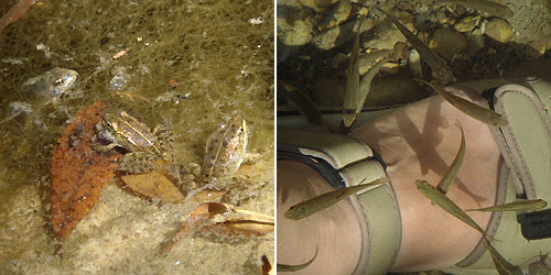 Left: Young Iberian Water Frogs. Right: Tiny fish looking for a meal.