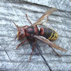 Hornets (Vespa crabro) Avispón
