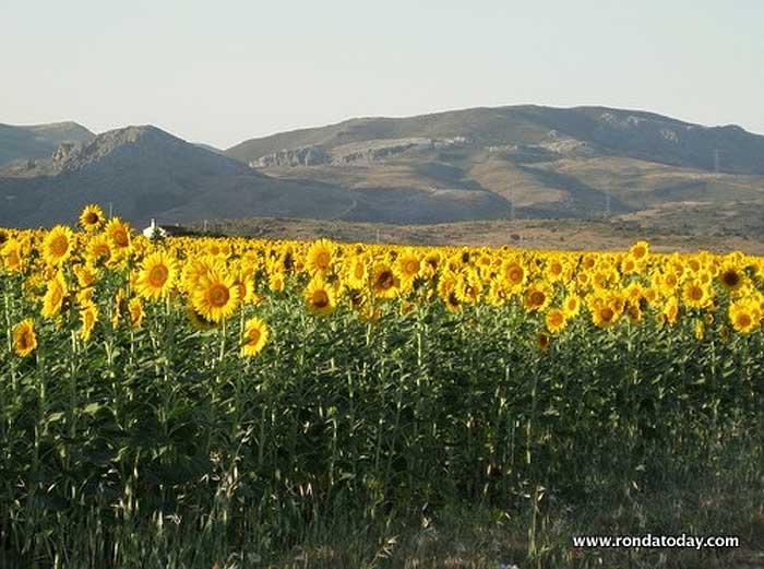 Sunflowers in the serranía de Ronda