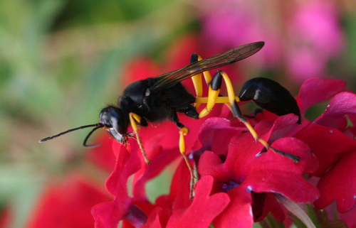 Thread-waisted Wasp (Sceliphron spirifex)