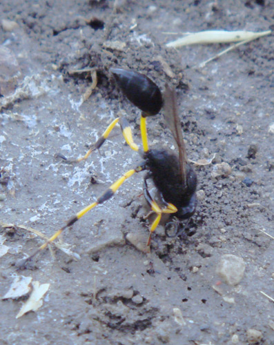 Collecting mud for the nest - Thread-waisted Wasp (Sceliphron spirifex)